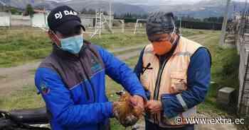 Sancionados en plena pelea de gallos en Cayambe - Portal Extra
