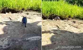 Tatu-galinha é perseguido e capturado por populares em Piripiri - Piauí Hoje