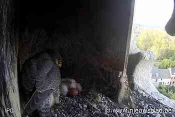 Babyborrel in de kerktoren van Ternat (Ternat) - Het Nieuwsblad