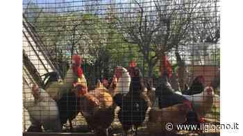 Lainate, sono tornati i ladri di galline - IL GIORNO