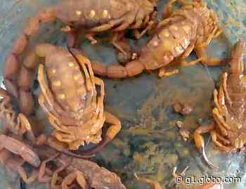 Criança de 3 anos é picada por escorpião em Conchal e família denuncia sujeira em terreno - G1