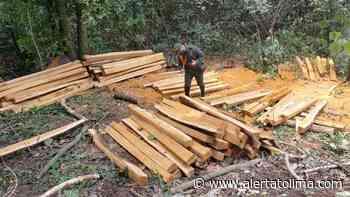 Capturaron a cuatro personas por talar árboles en el Guamo - Alerta Tolima