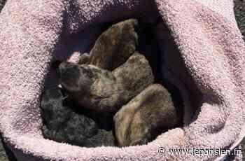 Quatre chiots juste nés retrouvés dans une poubelle à Champagne-sur-Seine - Le Parisien