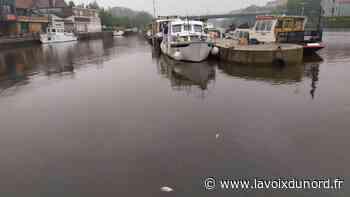Des poissons morts dans la Deûle à Wambrechies - La Voix du Nord