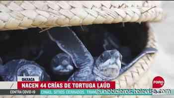 Nacen crías de tortuga laúd en Puerto Escondido - Noticieros Televisa