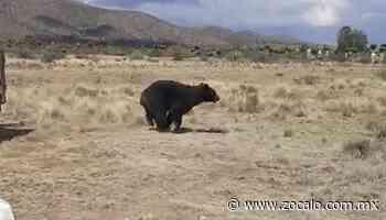 Liberan a oso y a mapache en campo de Parras de la Fuente - Periódico Zócalo