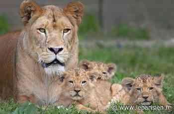 Rencontrez en direct les animaux du zoo safari de Thoiry - Le Parisien