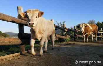 Der kleine Stier Ferdinand hat sich gut eingelebt - Passauer Neue Presse
