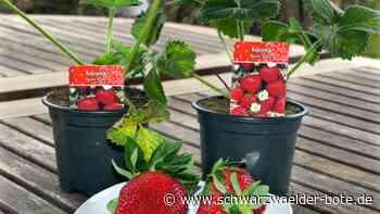 Stetten am kalten Markt: Mit der Korona-Erdbeere das Immunsystem stärken gegen das Corona-Virus - Schwarzwälder Bote
