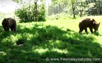 Bradley and Cooper released from sanctuary into the wild - Free Malaysia Today
