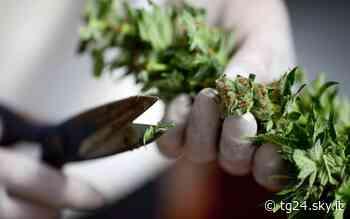 Orbassano, 30 chili di marijuana su un tir dalla Francia: due arresti - Sky Tg24