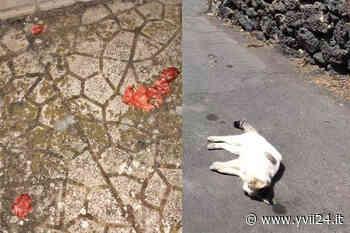 Belpasso. Polpette avvelenate sparse nel territorio: morto un gatto - Yvii24.it