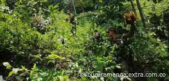 En Otanche, Boyacá, 15.597 plantas de coca fueron erradicadas - Extra Bucaramanga