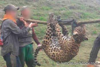 Controversia por el presunto envenenamiento de un jaguar en Frontino - Noticias Caracol