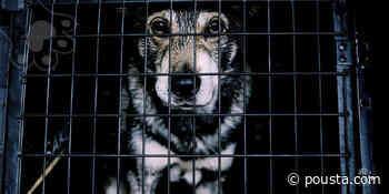 Descubren criadero ilegal con 80 perros de raza hacinados en Peñaflor - Pousta