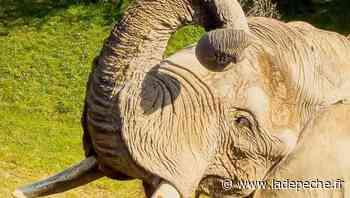 Plaisance-du-Touch. Rendez-vous avec les éléphants du zoo - ladepeche.fr