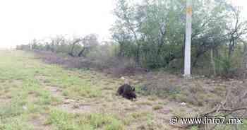 Sorprende oso a automovilistas en plena carretera en Sabinas Hidalgo - INFO7 Noticias
