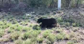 Causa asombro oso a un costado de la carretera en Sabinas Hidalgo - El Horizonte
