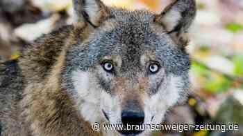 """Tierhalter melden mehr Wolfsrisse – """"schnelle Gefahrenabwehr"""" - Braunschweiger Zeitung"""
