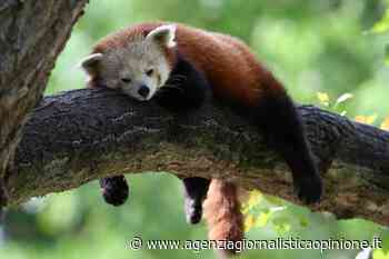 Parco Natura Viva Bussolengo (vr) * PANDA ROSSO: « bambù assicurato per Maituk e Nyi-Ma, i due maschi che attendono l'arrivo di due nuove compagne - agenzia giornalistica opinione