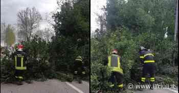 Raffiche di vento, a Codroipo caduti quattro platani - Il Friuli