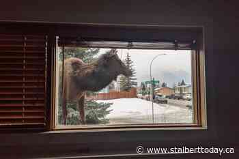 Internet goes wild over Canmore photographer's elk photo - St. Albert Today