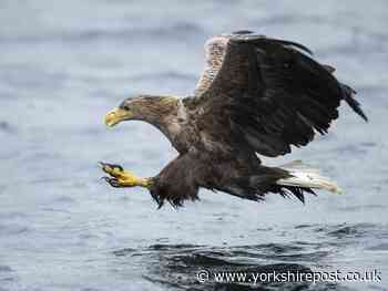 The once extinct Sea Eagles back on the North York Moors - Yorkshire Post