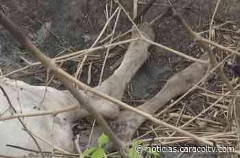 Felinos andan sueltos en Bolívar y han derramado la sangre de casi cien reses en solo un mes - Noticias Caracol