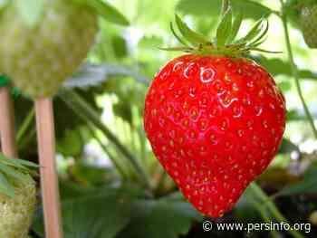 Zelfpluk aardbeien in Ternat en Groot-Bijgaarden heropent morgen de deuren - Persinfo.org