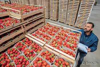 Wegen Corona gibt es bei OGA Bruchsal dieses Jahr weniger Erdbeeren - BNN - Badische Neueste Nachrichten