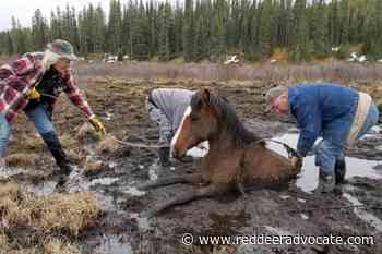 Wild horse rescued from Sundre-area bog – Red Deer Advocate - Red Deer Advocate