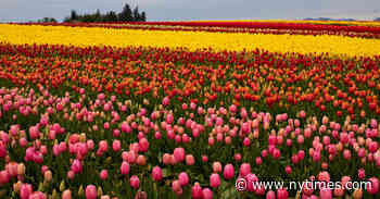 How 5 Friends and a Field of Tulips Fought the Covid-19 Meltdown