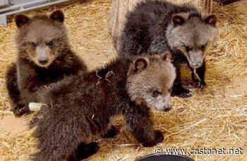 Trio of grizzly cubs saved from certain death near Crowsnest Pass - BC News - Castanet.net