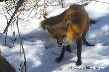 Fox trot in Westmount | Local-Lifestyles | Lifestyles - SaltWire Network
