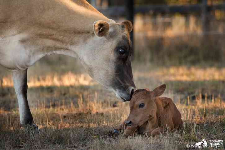 Story Time at Edgar's Mission! Rescued Cow and her Calf Listen to Book About Them