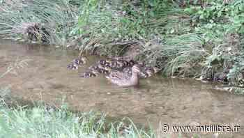 Grabels : le Rieumassel, refuge d'une famille de canards colverts - Midi Libre