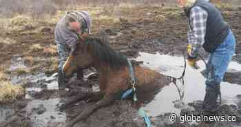 Young horse trapped in muskeg near Sundre, Alta. rescued in dramatic video - Globalnews.ca