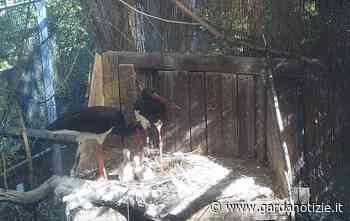 Nati al Parco Natura Viva di Bussolengo 4 fratellini di cicogna nera - Garda Notizie