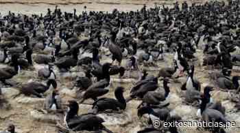 Huarmey: hallan más de 400 aves marinas muertas presuntamente por consumo humano - exitosanoticias