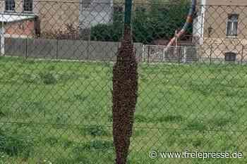 Bienenvolk schwärmt in Crimmitschau aus - Freie Presse