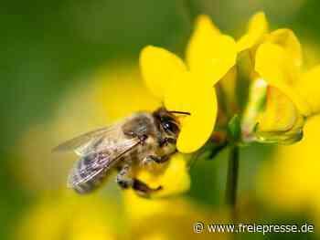 Bienenschwarm in Crimmitschau eingefangen - Freie Presse