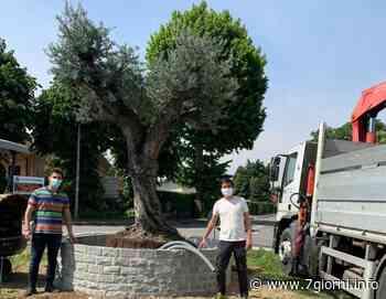 Tribiano: due ulivi secolari svettano sulle rotonde d'ingresso al paese - 7giorni