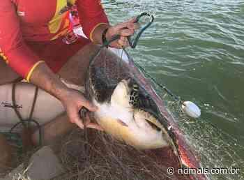 Duas tartarugas são resgatadas em praia de Barra Velha - ND - Notícias