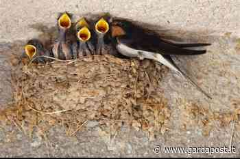 Sirmione, abbattuti decine di nidi di rondine – Gardapost - gardapost