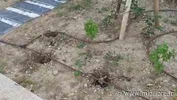 Vendargues : des voleurs à la petite semaine s'emparent d'arbustes juste plantés - Midi Libre
