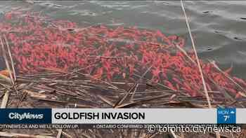 Goldfish invade Port Perry storm water pond by the thousands - CityNews