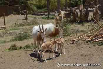 Oasis WildLife Fuerteventura anuncia nacimiento de 5 nuevas crías de Orix Cimitarra,especie extinta en la Naturaleza - Noticanarias