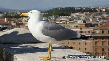 Ésta es la sorprendente respuesta de las gaviotas de Roma para sobrevivir a la falta de desperdicios - El Español