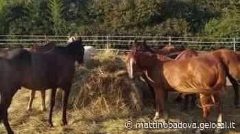 """Torreglia, lo Star's Ranch scrive a Zaia: """"Senza lavoro, i cavalli a rischio"""" - Il Mattino di Padova"""