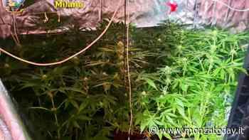 Scoperto laboratorio di droga: siringhe per funghi allucinogeni e una serra di marijuana - Monza Today